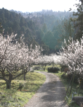 三方五湖周囲に広がる梅畑